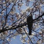sakura_oiseau