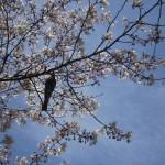 sakura_oiseau02