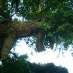 enoshima_arbre_sacre_01