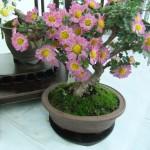 bonzai_crysantheme01