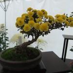 bonzai_crysantheme02