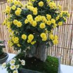 bonzai_crysantheme04