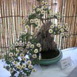 bonzai_crysantheme06