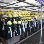 hibiya_garden_expo_chrysanthemes01