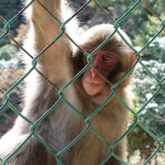 arashiyama_monkey04