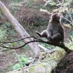 arashiyama_monkey_arbre02