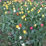 champs_de_mars_tulipes