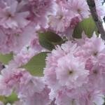 fleurs_roses02