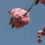 fleurs_roses04
