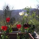tulipes01