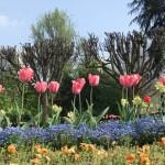 tulipes02