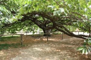 jardin_des_plantes_cerisier_du_japon