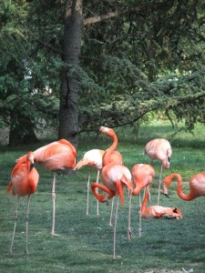 menagerie_flamant_rose01