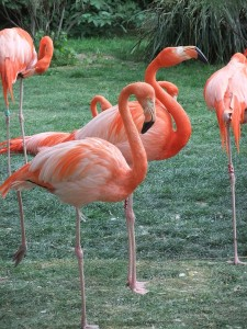 menagerie_flamant_rose02
