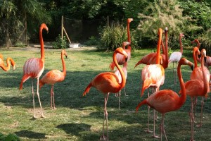 menagerie_flamant_rose03